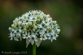 Allium colour