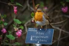 Ribes Sanguineum Atrorubens