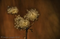 Plant Portrait: Seed Head