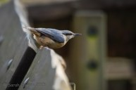 Nuthatch gearing up