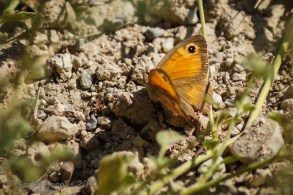Aegean Meadow Brown