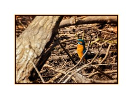 Kingfisher on lookout