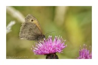 Meadow Brown Butterfly