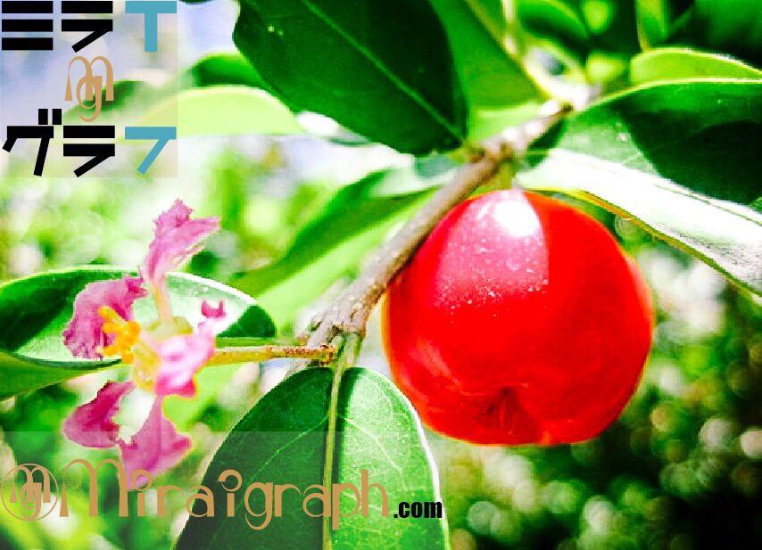 夏に美肌と健康果実のアセロラを 5月12日はアセロラの日