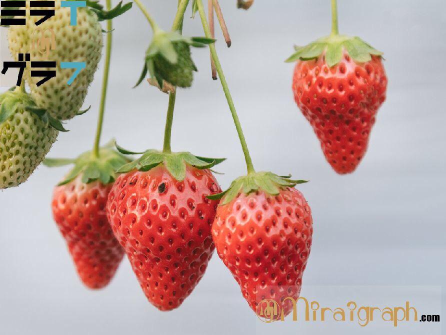 イチゴは歯にもいい!?キシリトールと美と栄養の宝庫 1月5日はいちごの日『今日というミライグラフ365』