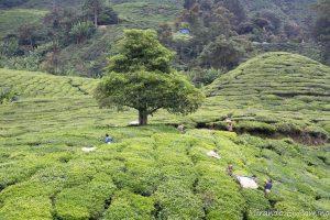 Boh Sungai Tea. Plantaciones de Té