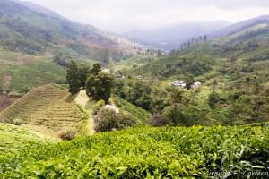 Plantaciones de Té. Cameron Highlands