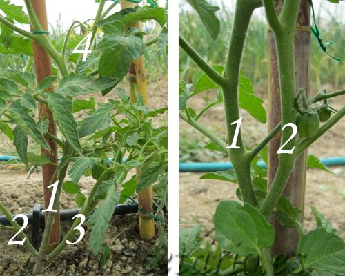 Número de ramas maestras en la tomatera