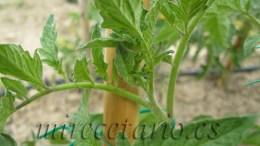 Rama de tomatera desarrollandose y creciendo.