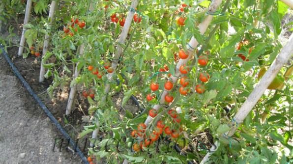 Foto concurso 1, montones de tomates cherry.