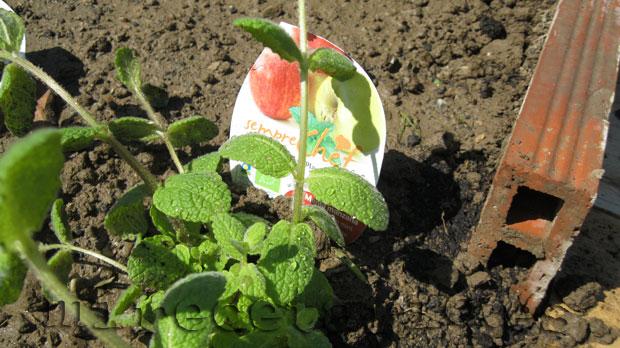 Planta de menta manzana eco.