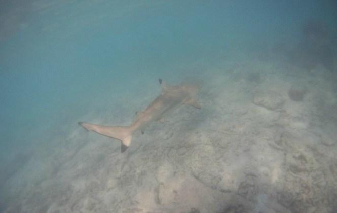 nager-avec-les-requins-