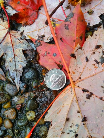 Currency conspiracy ~ multiples ~ one of two ~ autumn ~ leaves