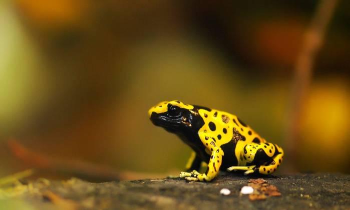 Hasil gambar untuk Yellow-Banded Poison katak