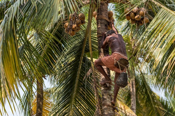Toddy Tapping IKerala's Drinking Problem