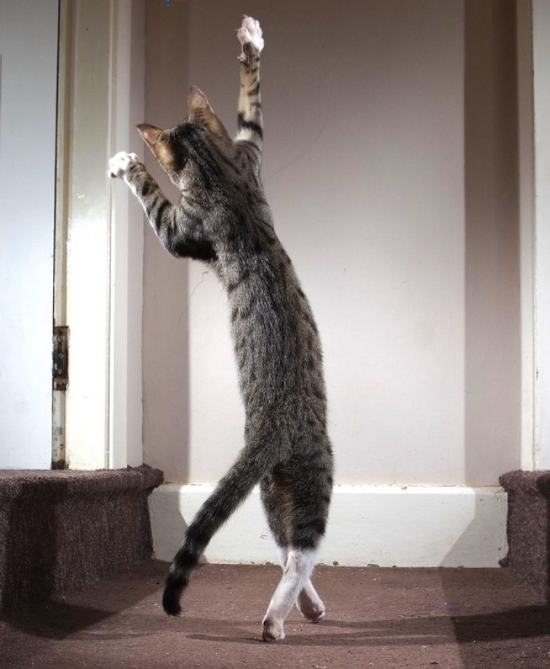 A cat playing appears to be walking gracefully on two legs on a staircase