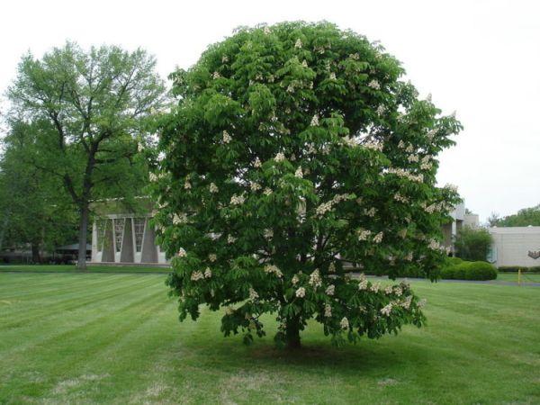 Как цветут каштаны и в каком месяце? Фото дерева и почему ...