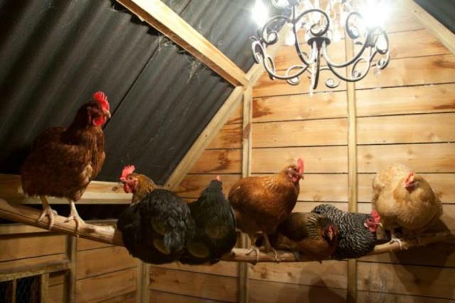 csirkék abbahagyták a rohanást