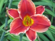 A lily is a lily not a rose - Botanical Gdns