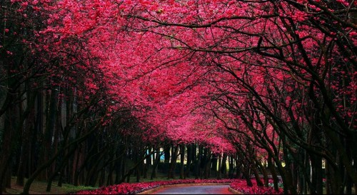 Haiku: Dreams Are Made Of This... Cherry Trees