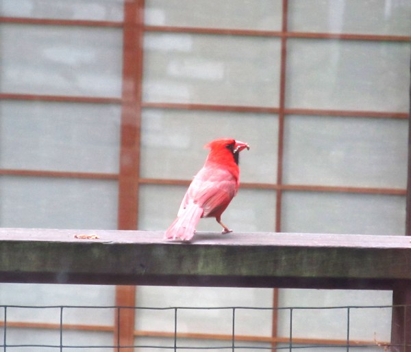 Photo 101-Week 3: From Color to Landscape - Red Cardinal