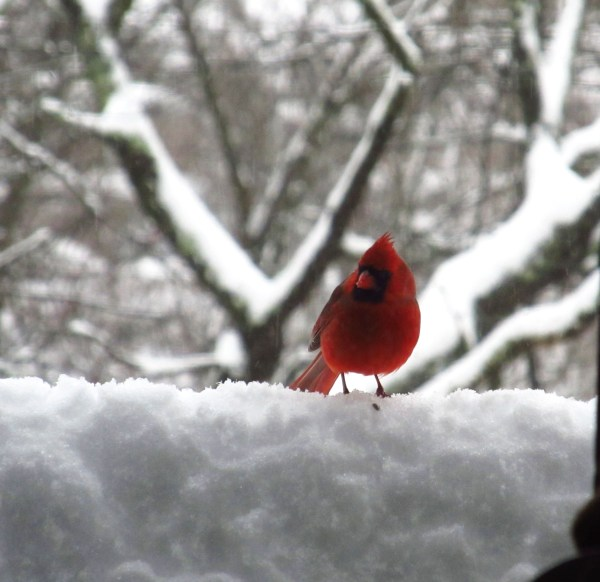 Photo101 - Week3: From Color to Landscape - Red Cardinal in the Snow