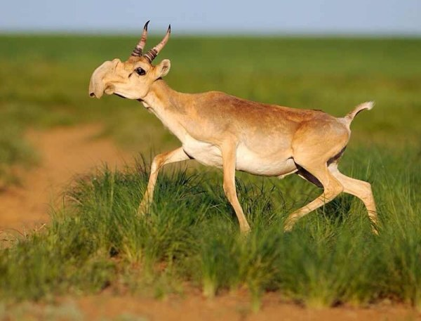 Haiku: End Of May... some Saiga Antelopes die