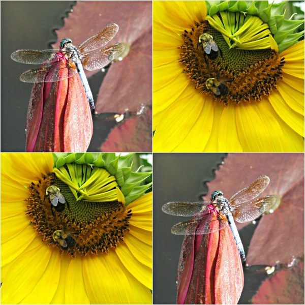 Weekly Photo Challenge: CLOSE UP - A macro shot favorite combo of mine. Dragonfly and Bees on flowering plants