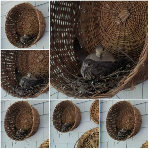 Haiku: Portraits of Two Mourning Doves - A nestling squab and its parent