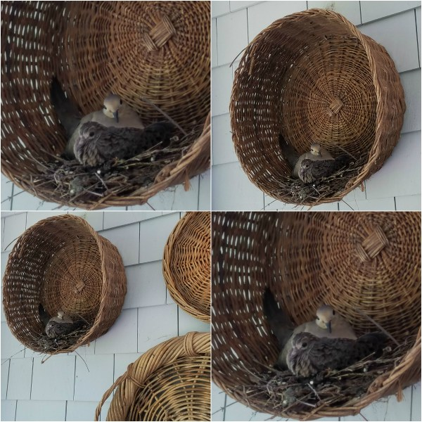 Haiku: Portraits of Two Mourning Doves