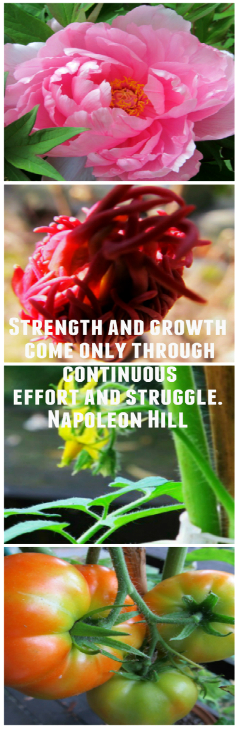 Photo Challenge: A GROWTH Mindset - Japanese Peony & Beefsteak Tomatoes