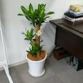 【幸福の木】観葉植物のドラセナ・マッサンゲアナをオフィスに購入