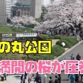 北の丸公園と武道館と田安門と千鳥ヶ淵緑道の満開の桜を花見散歩