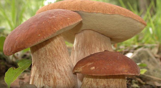 Начинают растибелые грибы в конце мая