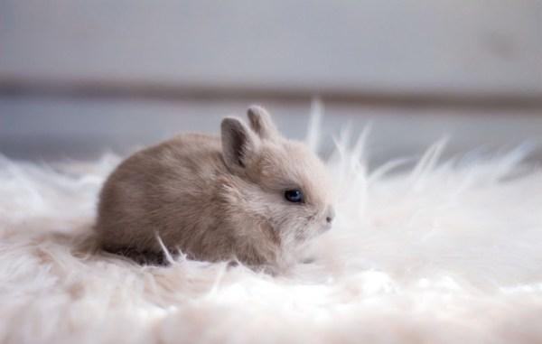 Карликовый Кролик: 125 фото и видео распространенных пород ...