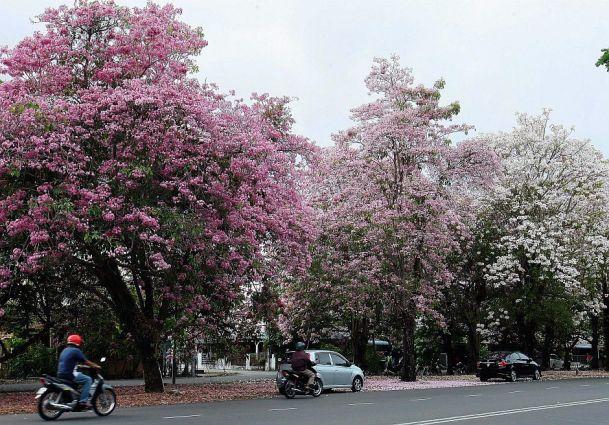 sakuraflowersbloomingpenang0404