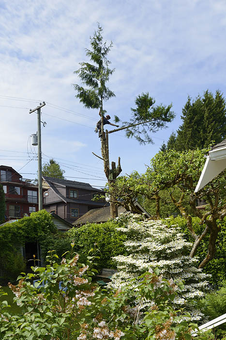 Cedar tree removed on the west side of Vancouver.