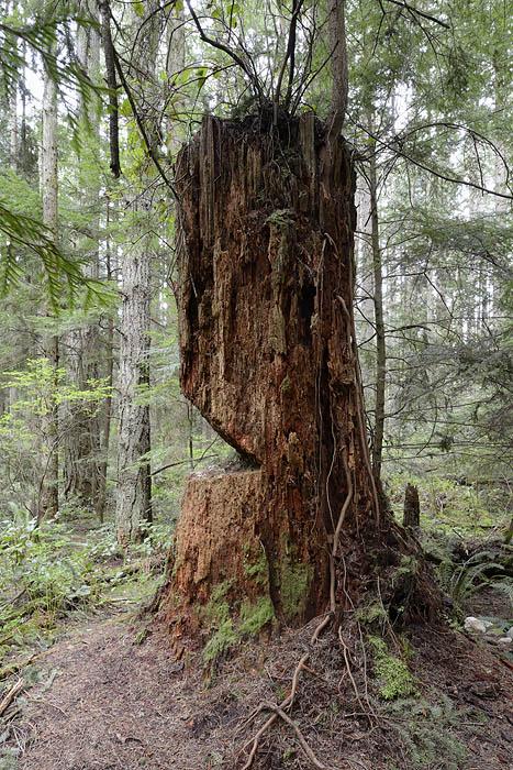 Tree stump in Pacific Spirit Park