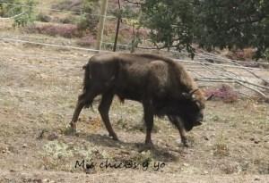 Reintroducción bisonte europeo Atapuerca