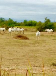 Caballos de la Camarga