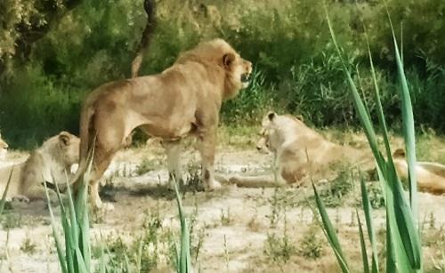 Parque de leones en la Reserva Africana de Sigean