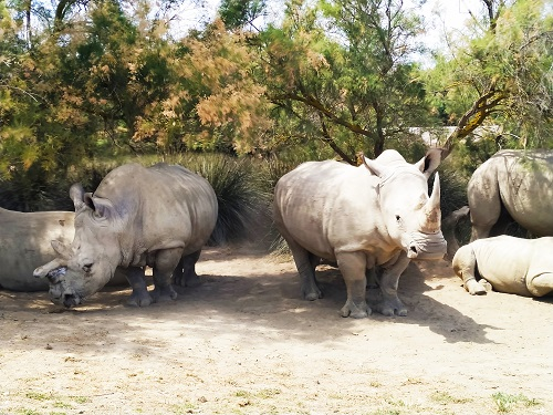 Rinocerontes en Sigean