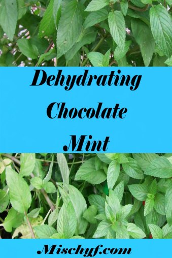 How to dehydrate chocolate mint to make wonderful teas and desserts.