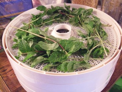 Load the dehydrator tray with freshly washed chocolate mint leaves.