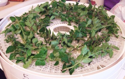 Oregano fresh leaves on stems loaded on the tray.
