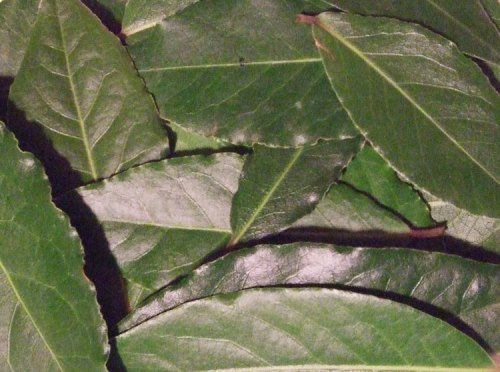 Want fresh bay leaves look like out of the box or off the tree. Great for soups, stews or anywhere you want flavoring.