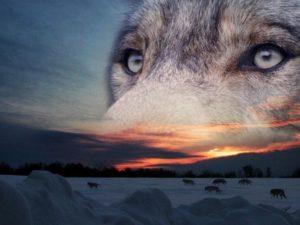 sfondi-occhi-di-lupo