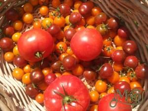 Tomaten wachsen