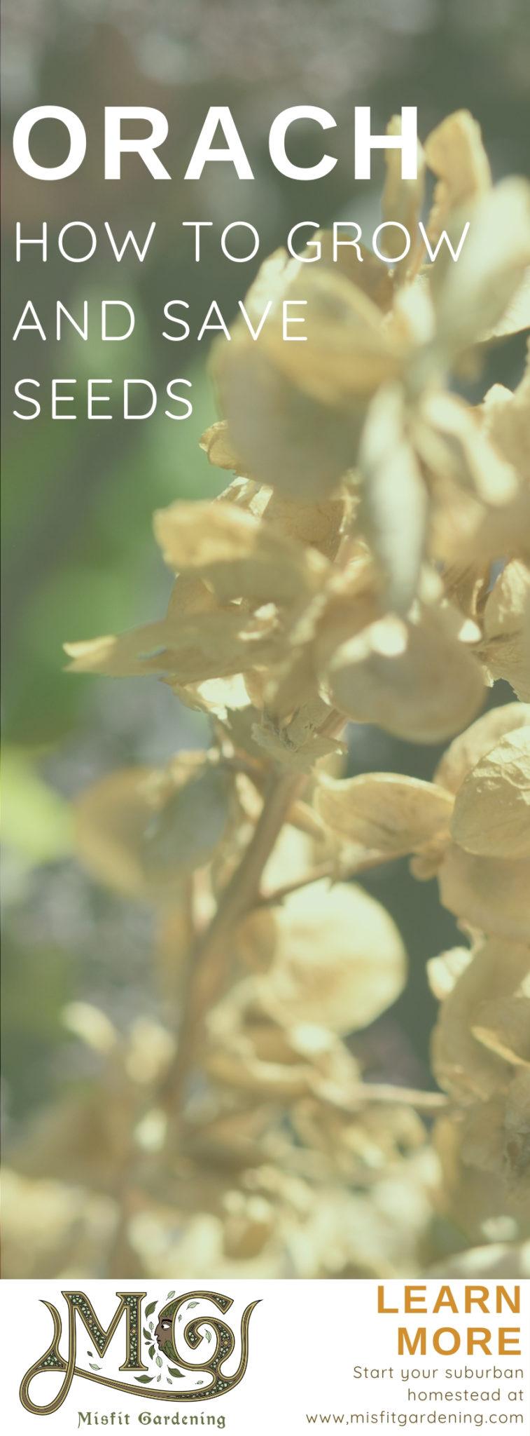Bergspinat oder Orach ist wirklich einfach zu züchten. Klicken Sie hier, um mehr zu erfahren, oder stecken Sie es für später fest