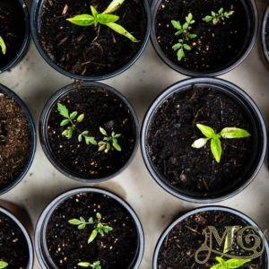 ultimative Anleitung zum Starten von Samen in Innenräumen